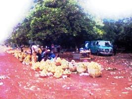 Nécessité d'une usine de transformation de mangues au Mali