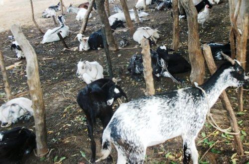 Article : Ségou : vol de bétails, une pratique qui inquiète les populations rurales